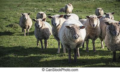 sheep, lantgård, fjäder, Solsken, bygd, engelsk,  flock, landskap