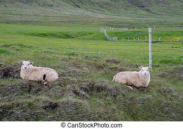 Sheep laying on a field in Iceland