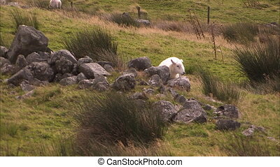 Sheep laying on rocks - A steady shot of a sheep laying down...