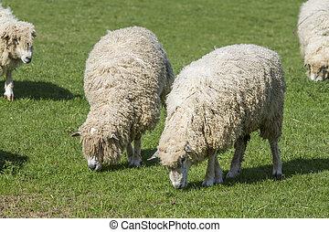 sheep, león, cotswold