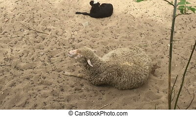 Sheep lie in the shadow of the sand. - Sheep lie in the...