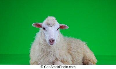sheep lies on a green screen