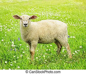 sheep, lindo, joven