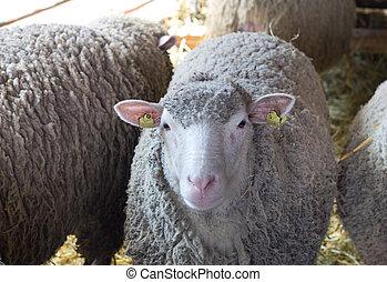 Sheep looking at camera in barn. Flock of sheep around it