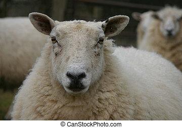 Sheep looking you