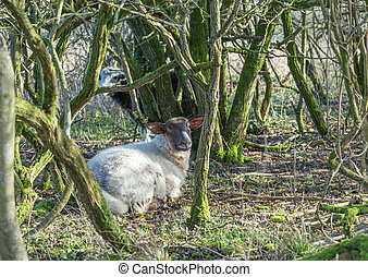 Sheep lying down in woodland on the Sussex South downs.