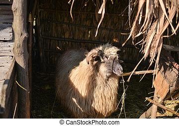 sheep, mangiare, fattoria, dentro, isolato, gregge, fieno