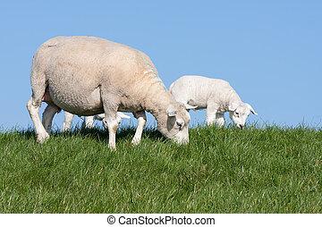 sheep, med, henne, lamm