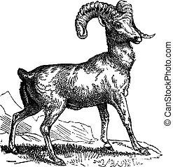 sheep, montaña, rocoso, (ovis, vendimia, grabado, o,...