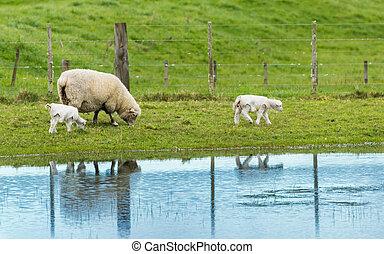 sheep, mor, med, lamm