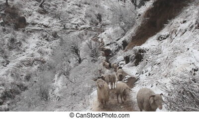 Sheep move in single file along mountain trail. Rare...