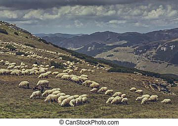 sheep, multitud, pasto