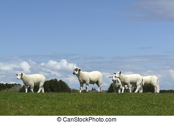 Sheep on a dyke on the Island of Sylt - Sheep (Ovis aries)...