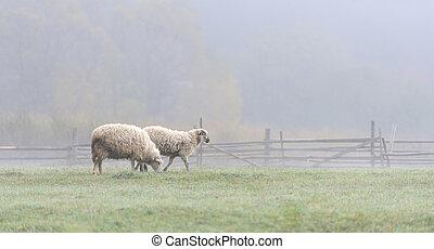 Sheep on a farm in fog