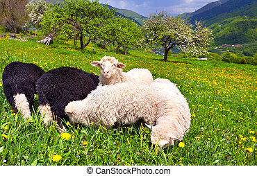 sheep on a farm in the spring in the mountains
