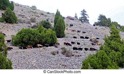 Sheep on a hillside. Pamir, Tazhikistan. Time Lapse