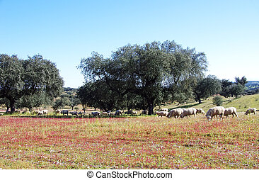sheep on a meadow at south of Portugal