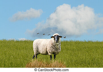 Sheep on a meadow at the dike