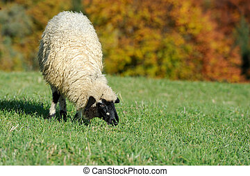 Sheep on a meadow