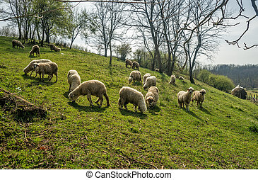 Sheep on a meadow in early spring 01