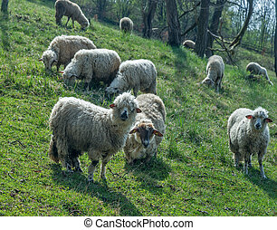 Sheep on a meadow in early spring 03