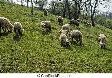 Sheep on a meadow in early spring 05