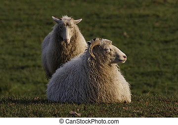 Sheep on a meadow in Germany