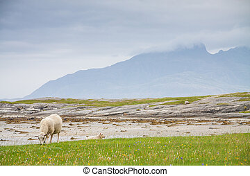 Sheep on a meadow in Northern Norway