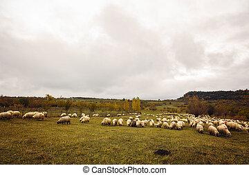 sheep on a meadow in Romania