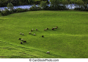 Sheep on a meadow in the Alps, Switzerland