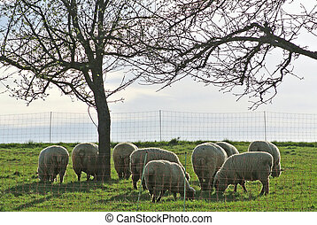 sheep on a pasture in early spring