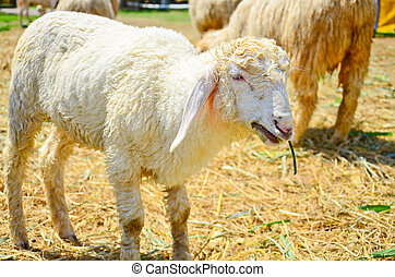 Sheep on a pasture