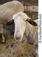 Sheep on an animal farm - Sheep on a farm for animals,...