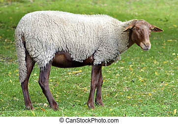 Sheep on grass - Sheep variety of Solognot, or of the ...