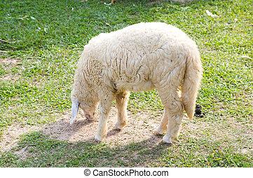 Sheep on grass.