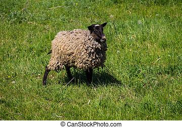 Sheep on green meadow