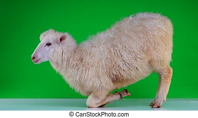 sheep on her lap on a green screen