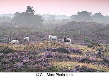 sheep on hill with flowering heather