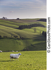 Sheep on Hillside,Shropshire, UK - Sheep on...