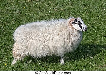 Sheep on Isle of Harris