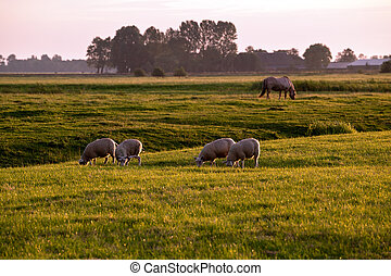 sheep on pastoral at sunrise