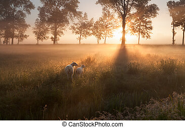 sheep on pasture at misty sunrise