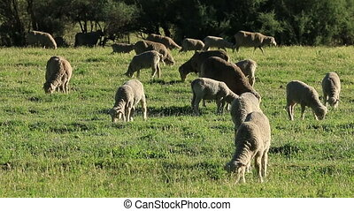 Sheep on pasture - Merino sheep grazing on lush green...