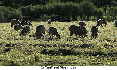 Sheep on pasture - Merino sheep grazing on lush pasture in...