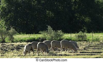 Sheep on pasture - Merino sheep grazing on pasture in late...