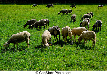 Sheep on pasture.