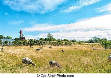 Sheep on Ruegen - Many sheep on Ruegen at Cape Arkona