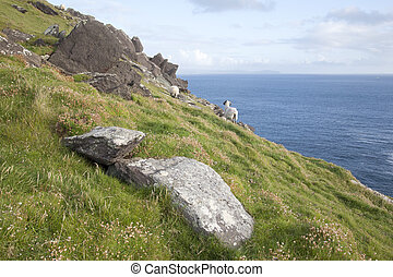 Sheep on Slea Head, Dingle Peninsula