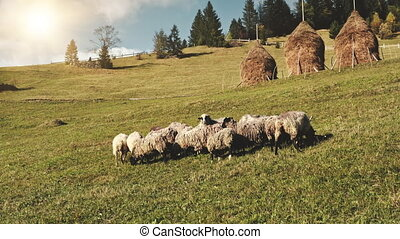 Sheep on sun mountain grass valley. Autumn nature landscape. Grazing farm animals. Rural biodiversity. Countryside field with haystack. Recreation vacation. Carpathians mounts, Ukraine, Europe