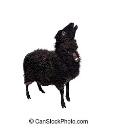 Sheep on the white - Funny sheep isolated on the white ...